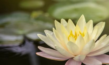 acupuncture-lotus-flower