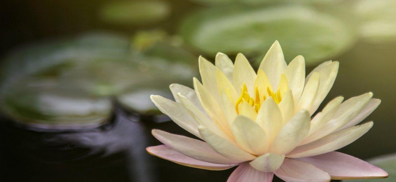 acupuncture-lotus-flower